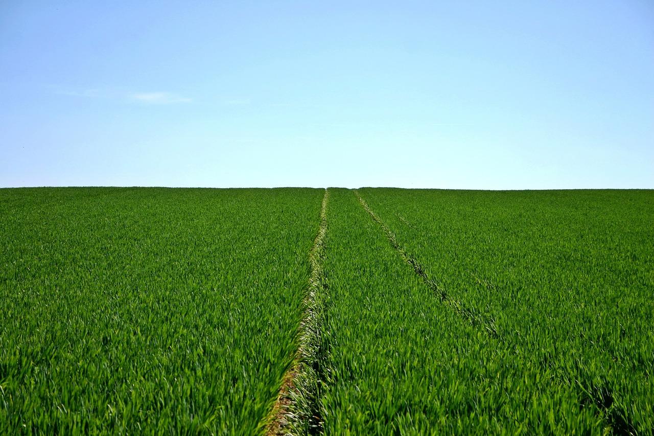 Ein Feld voll mit Bio Kichererbsen